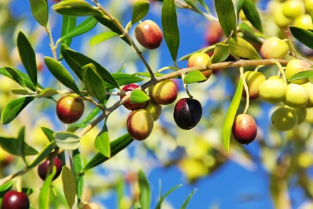 Olives on branch at Portugal.