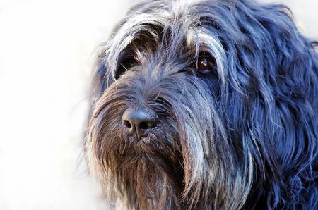 Face of portuguese sheepdog