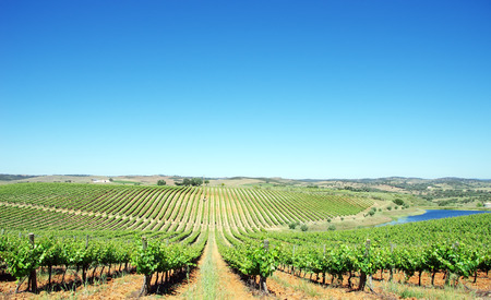 Vineyard at Alentejo region, Portugal.