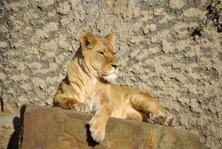 a female lion in the sun