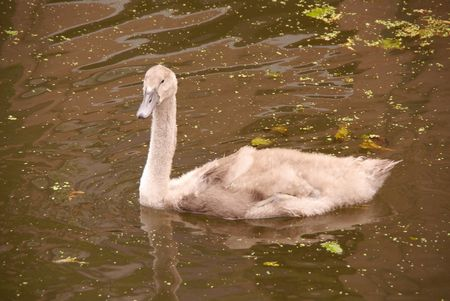A young mute swan