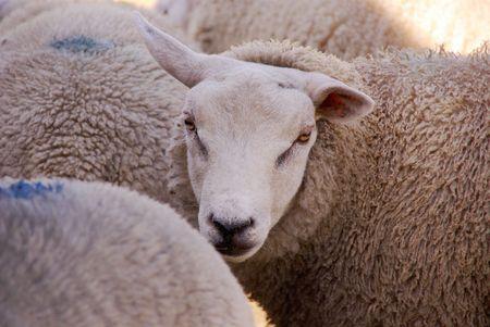 A portrait of a sheep