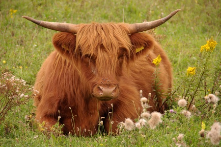 A scottisch highland cow resting  in the fields of a nature park