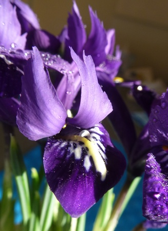 Iris flowering plant with showy flowers