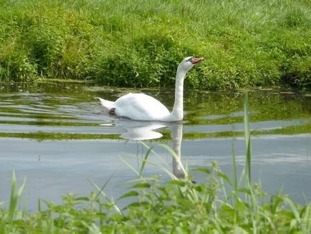 Mute swan  cygnus olur  in a ditch