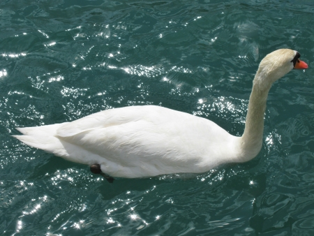 A mute swan swimming in the river