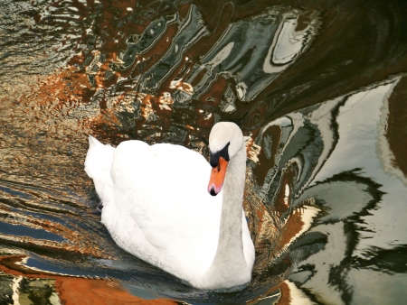 A swimming mute swan in a canal in the city with reflections of the houses in the water