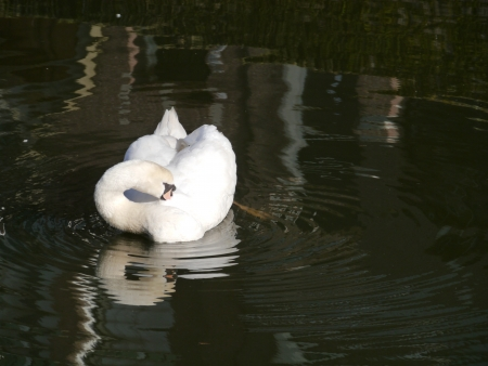 A sophisticated mute swan in the water