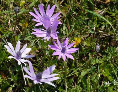 Flowering wild anemone plants in spring