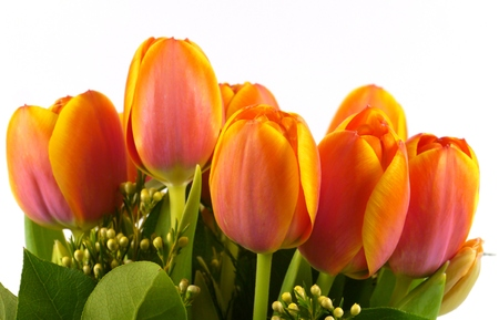 A close up of bright flowering spring tulips in red orange and yellow