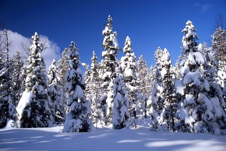Snowy trees in forest in sunshine and with blue sky