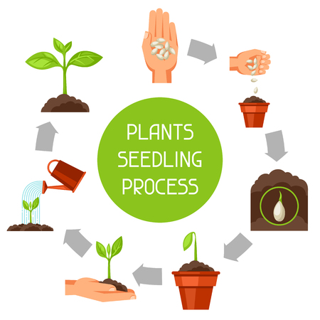 Illustration pour Seedling infographics with phases of plant growth. Image for advertising booklets, banners, flayers and articles. - image libre de droit