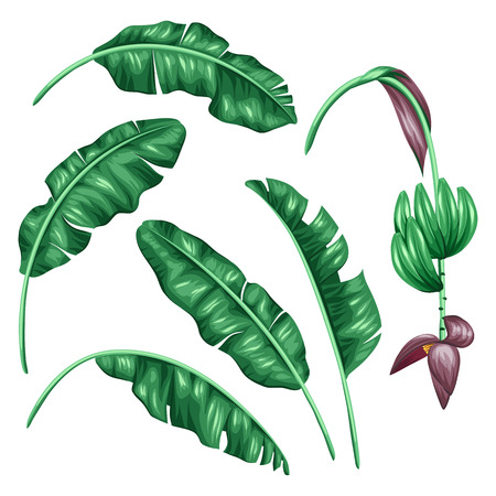 Illustration for Set of stylized banana leaves. Decorative image with tropical foliage, flowers and fruits. Objects for decoration, design on advertising booklets, banners, flayers. - Royalty Free Image
