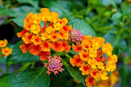 Red-Yellow Lantana Flowers