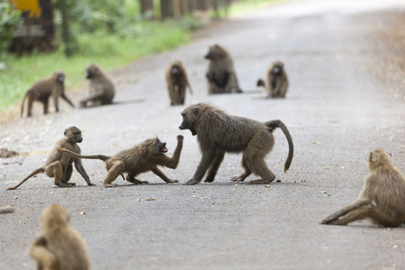 Some baboons fighting each other on a road in Nairobi Nation Park in Kenya