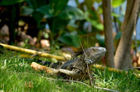 Iguana is a reptile of the genus Chameleon in the genus Iguana.