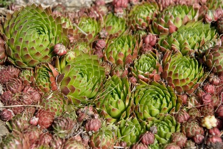 Houseleek (sempervivum montanum) in the Pyrenees