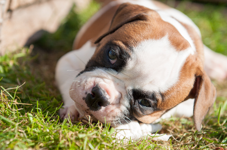 Funny nice red American Bulldog puppy is eating a chicken paw on nature