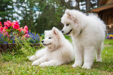 Photo pour Two Funny Samoyed puppies dogs in the garden on the green grass with flowers - image libre de droit
