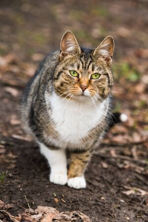 Spring March tabby cat portrait on dry leaves