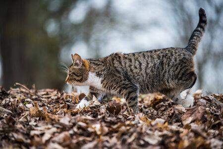 Spring March tabby cat is walking on dry leaves