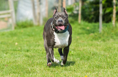 Photo for cute Blue hair American Staffordshire Terrier dog - Royalty Free Image