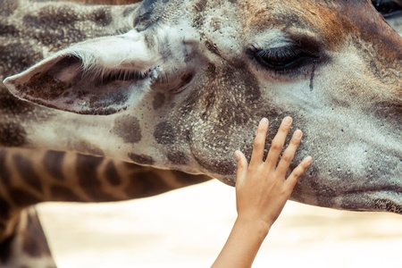 Child's hand caressing giraffe