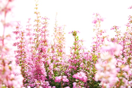 Closeup of heather blossoms over white
