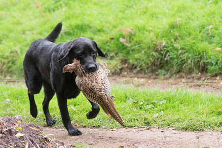 Photo pour A black labrador retrieving a hen pheasant - image libre de droit