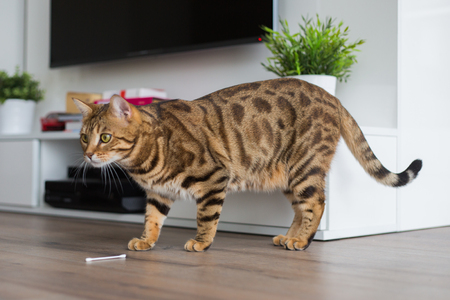Comely bengal cat playing with cotton swab in the house