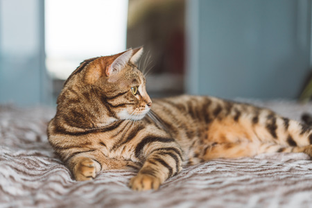 Beautiful bengal cat lying on the bed