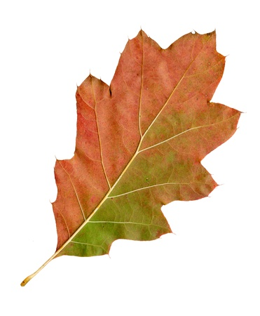 Autumn leaves of a red oak, under-surface, quercus rubra