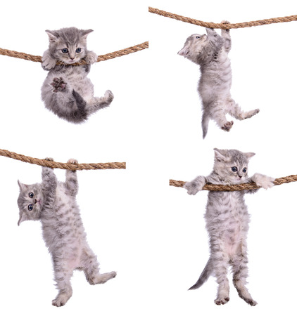 four small striped kittens Scottish tabby breed. animasl hanging on a rope isolated on white background