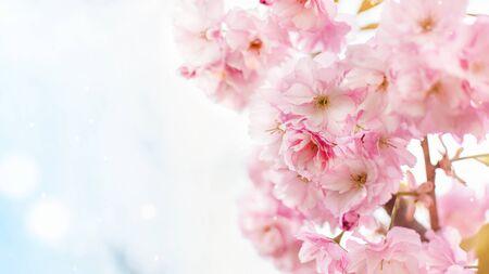 Photo pour Background of spring pink japan cherry blossoms tree. Springtime background. - image libre de droit