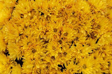 Photo pour Yellow chrysanthemum flower background. Flower texture. - image libre de droit