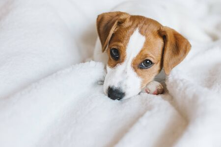 Photo for Adorable puppy Jack Russell Terrier laying on the white blanket. Portrait of a little dog. - Royalty Free Image