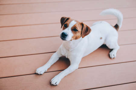 Photo for Adorable puppy Jack Russell Terrier lying on a wooden floor. Portrait of a little dog. - Royalty Free Image
