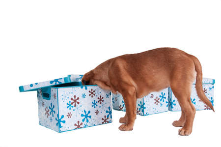 Who is hiding there? - a puppy looking for friendsin a pretty box