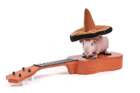Guinea Pig sitting in hat on a Guitarの写真素材