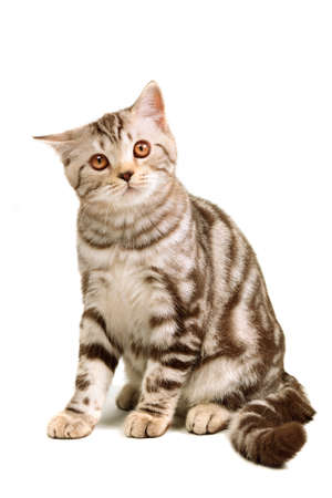 Scottish fold kitten sitting isolated on white background