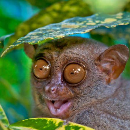 Photo pour Close up of a Tarsier hiding under a leaf - image libre de droit