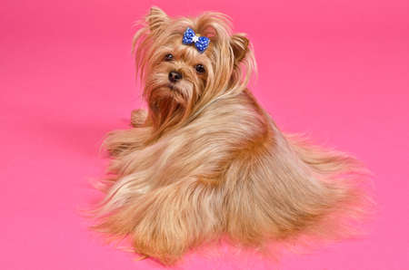 Yorkshire terrier lying against pink background