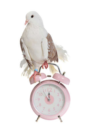 Decorative dove sits on old styled alarm-clock, isolated