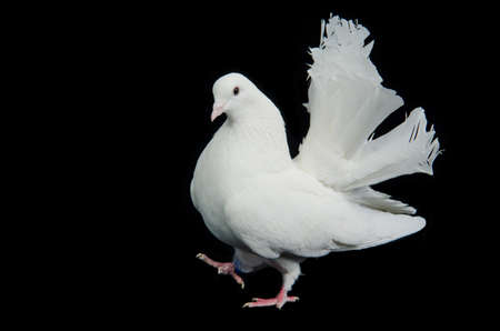 Beautiful white dove walking against black background
