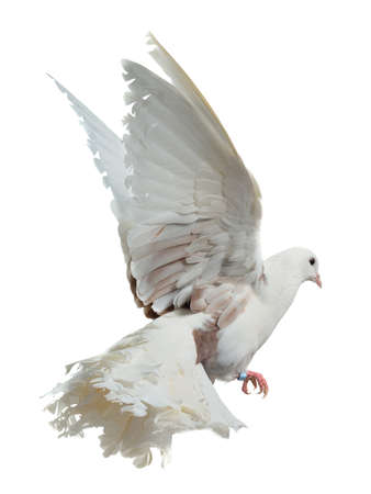 White dove flying high, isolated on white background