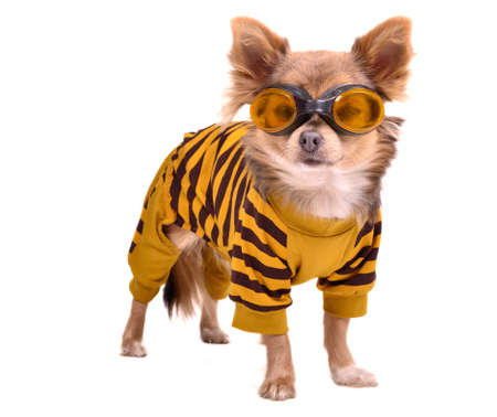 Photo pour Chihuahua puppy wearing yellow suit and goggles isolated on white background - image libre de droit