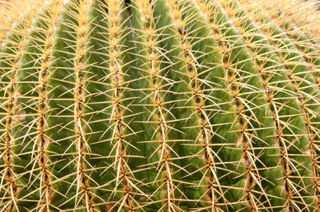 Close up of Golden Barrel Cactus