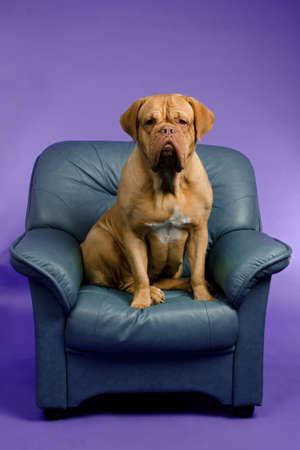 Dogue De Bordeaux on the armchair, studio shot