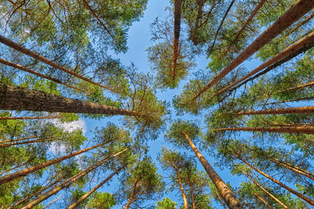 Foto de Bright summer pine forest head-up view - Imagen libre de derechos