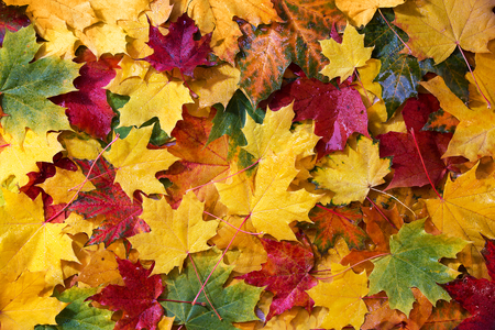Foto per Wet colored autumn maple leaves, top view - Immagine Royalty Free